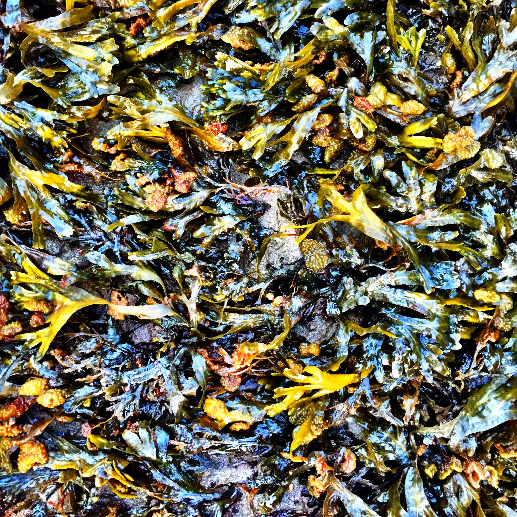 Colour enhanced photograph of seaweed in the tidal zone of the Petitcodiac River on the Bay of Fundy.   Image by The Ruggist.
